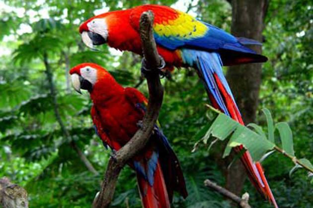 Vackra papegojor i Costa Ricas gröna natur.