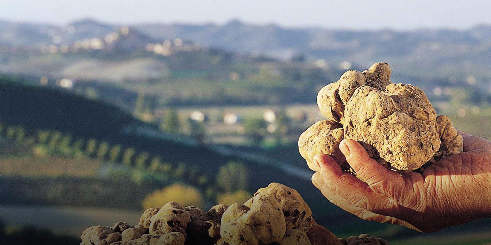 Tryffel i närbild i Piemonte Italien.