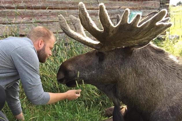 Moose Garden i Jämtland, Sverige.