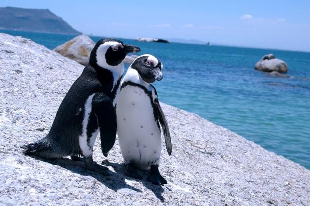 Pingviner på Boulders Beach, Sydafrika
