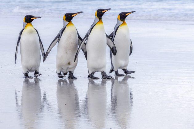 Pingviner på Falklandsöarna.