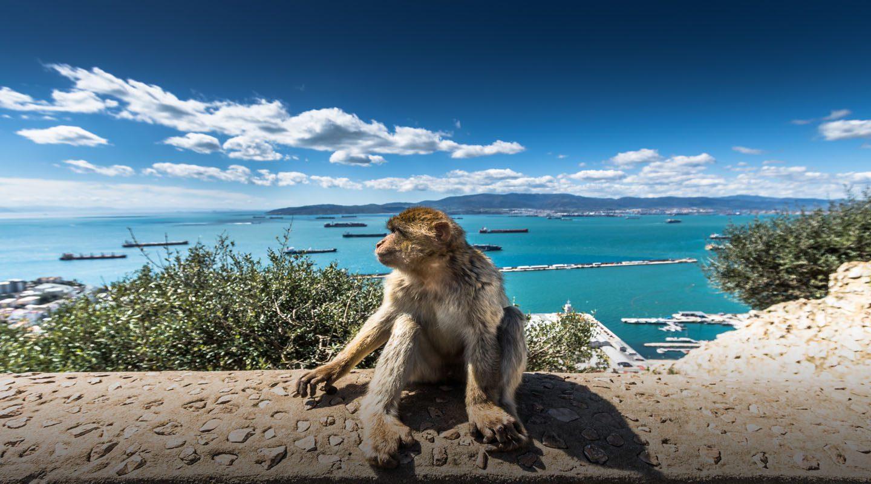 Närbild på apa på Gibraltarklippan, med havet i bakgrunden.