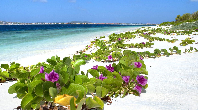 Blomrankor på strand på Bonaire.