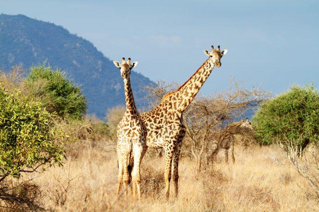 Ståtliga giraffer på Crescent Island, Kenya, som tittar nyfiket på sina åskådare.