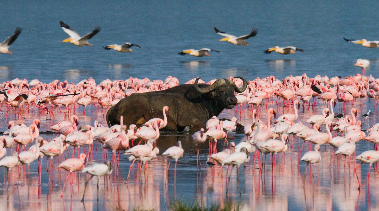 Vattenbuffel omgiven av flamingos i Lake Nakuru, Kenya.