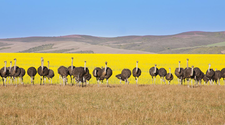 Strutsar längs Garden Route i Sydafrika.