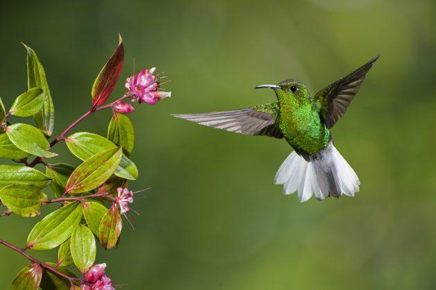 Kolibri och blommor i Costa Rica.