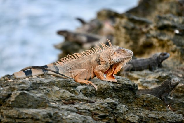 Orangefärgad Iguana på klippor på St. Croix.