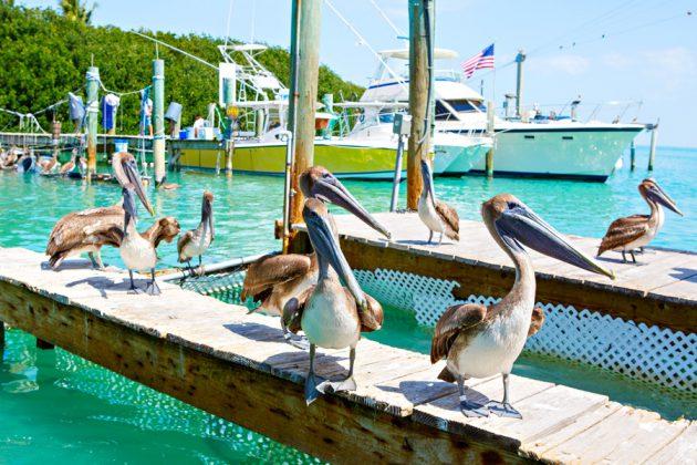 Pelikaner på en brygga i hamnen i Key West, Florida.