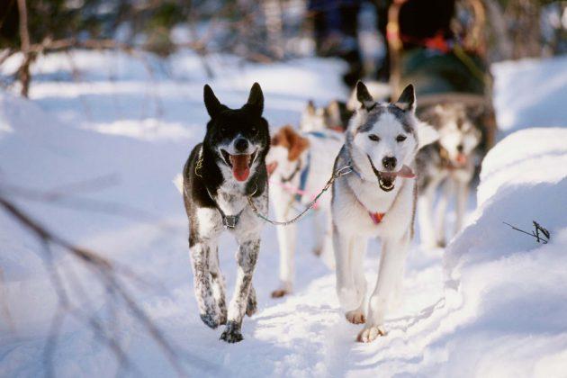 Huskies i ett hundspann i de lappländska fjällen. Foto: Destination Kiruna
